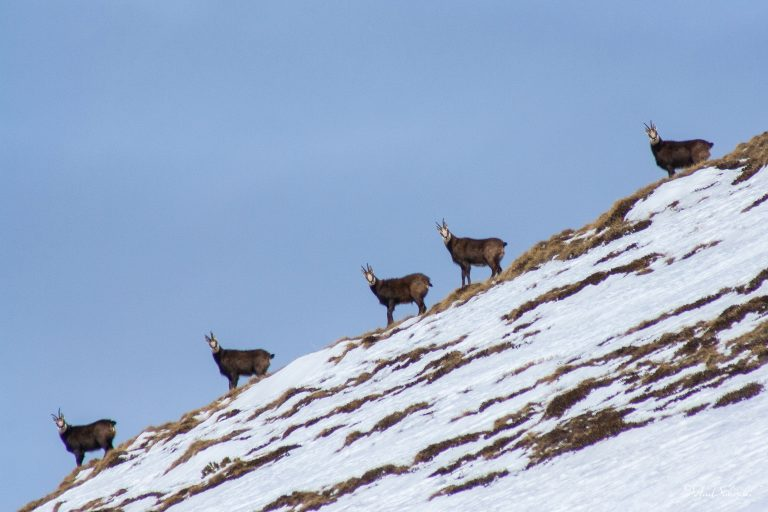 5 of a Kind. Chamois in The Carpathian Mountains, Romania
