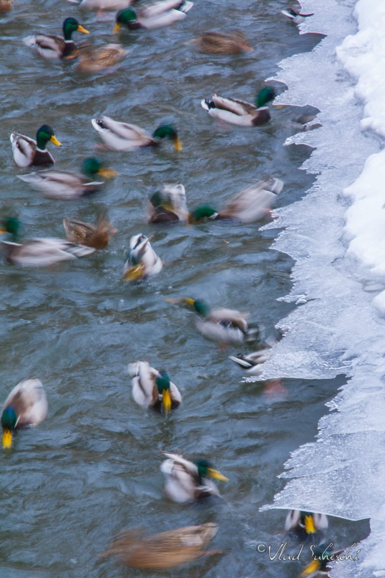 Abstract Mallard Ducks, in Sinaia Romania