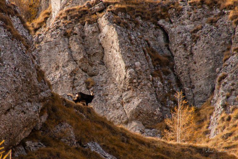 Autumn Chamois. In The Carpathian Mountains, Romania.