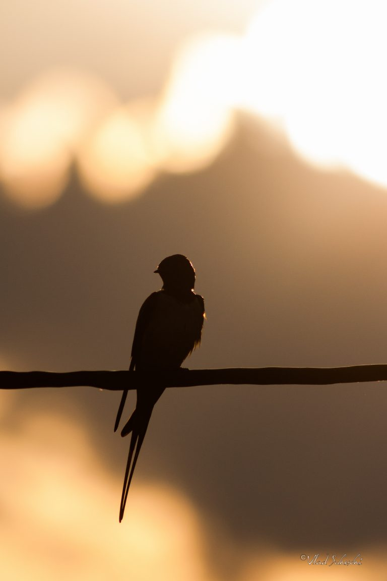 Barn Swallow Silhouette, in Talea Contry, Romania