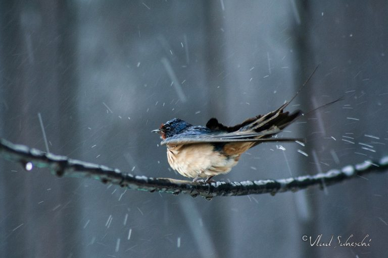 Barn Swallow in the Rain, in Talea Country Romania