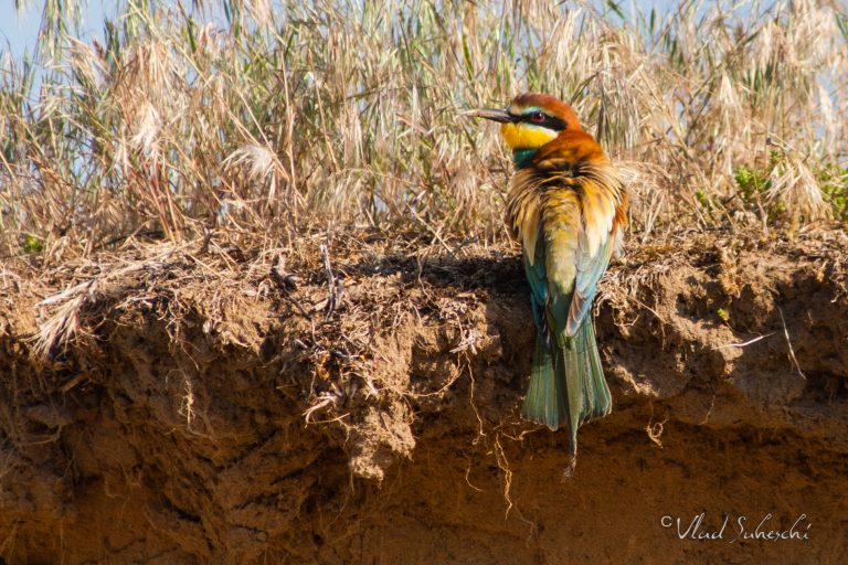 Bee-eater, in Brasov Romania