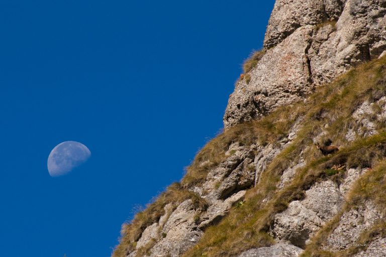 Chamois and The Moon. In The Carpathian Mountains, Romania.
