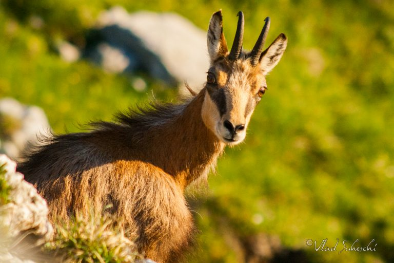 Chamois portarait. In The Carpathian Mountains, Romania.