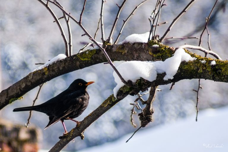 Common Blackbird,in Sinaia Romania