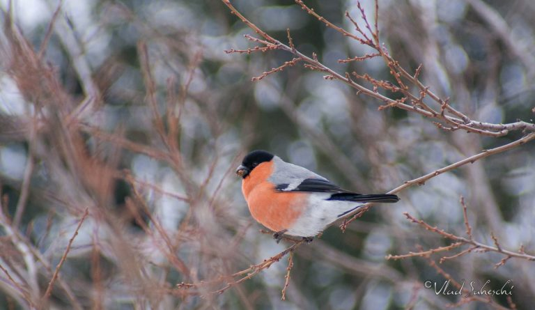 Eurasian bullfinch in Sinaia, Romania