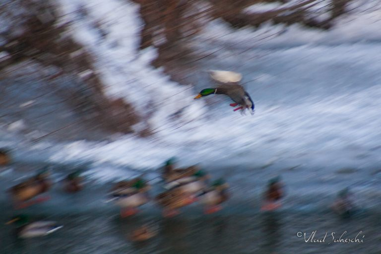 Fast Mallard Duck, in Sinaia Romania