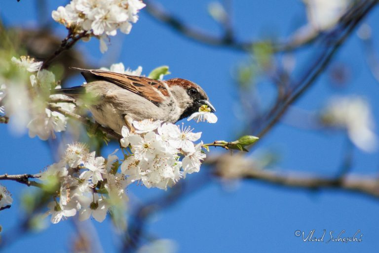 Flower Sparrow, in Sinaia Romania