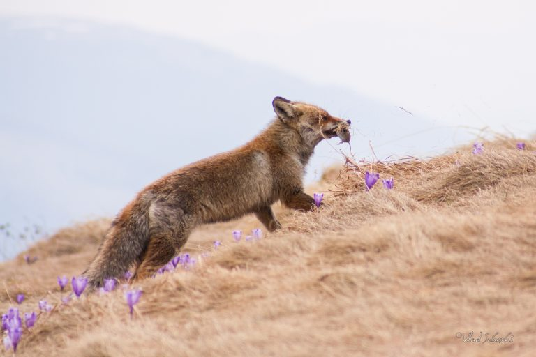 Hunting. Fox in Carpathian Mountains, Romania