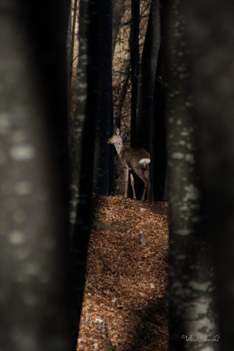 In the Light Roe Deer.  In Talea Country, Romania
