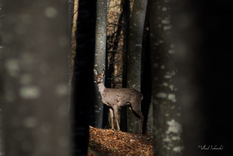 Listening Roe Deer.  In Talea Country, Romania