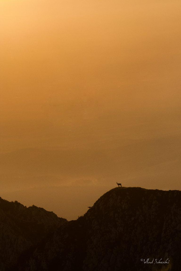 Morning Light Chamois. In The Carpathian Mountains, Romania.