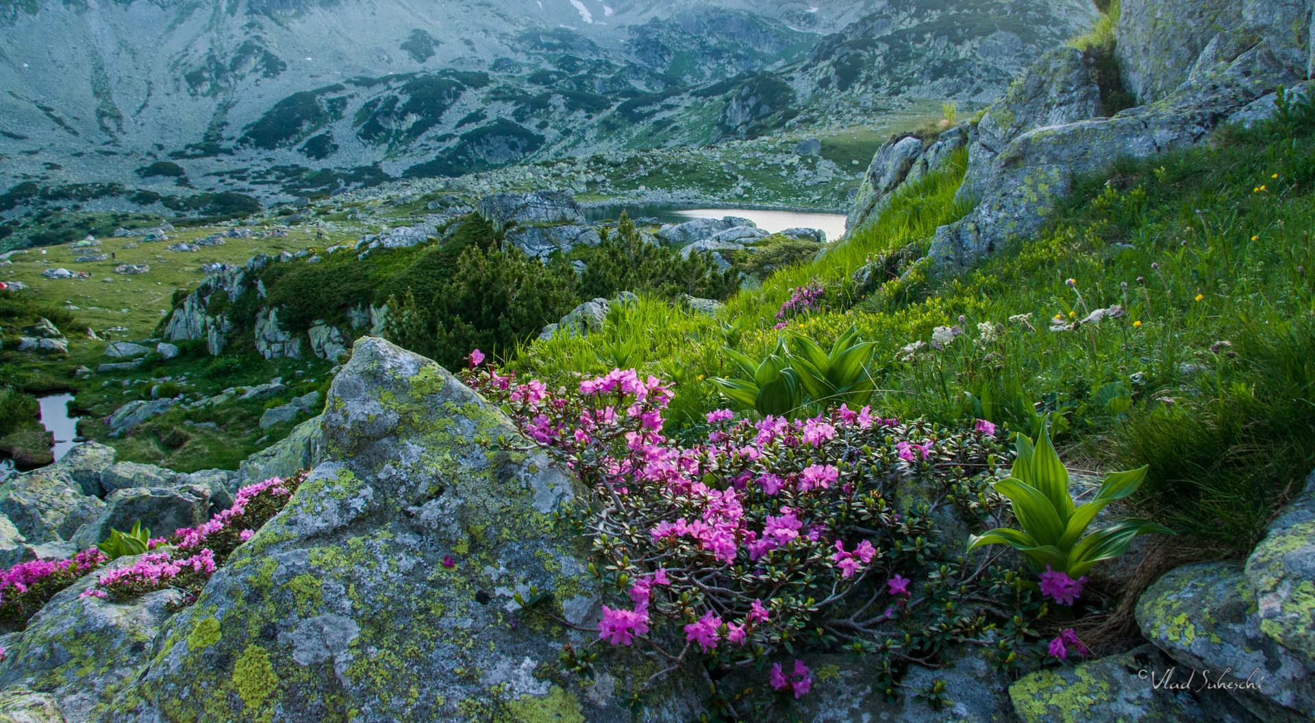 Rhododendron Retezat Mountains ,The Carpathians Romania