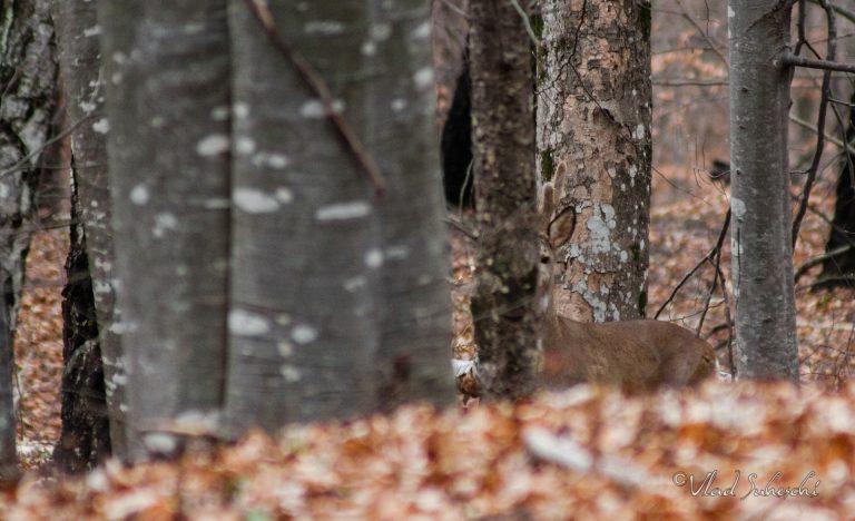 Roe Deer Waching. In Talea Country, Romania
