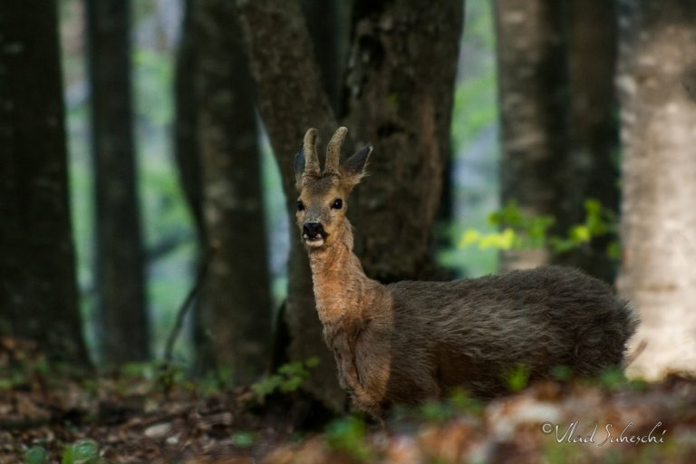 Roe Deer. In Talea Country, Romania