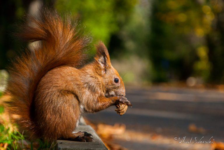 Squirrel in the park. Sinaia Romania