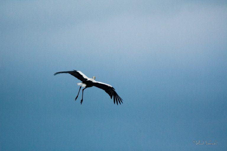 Stork. In Brasov Romania