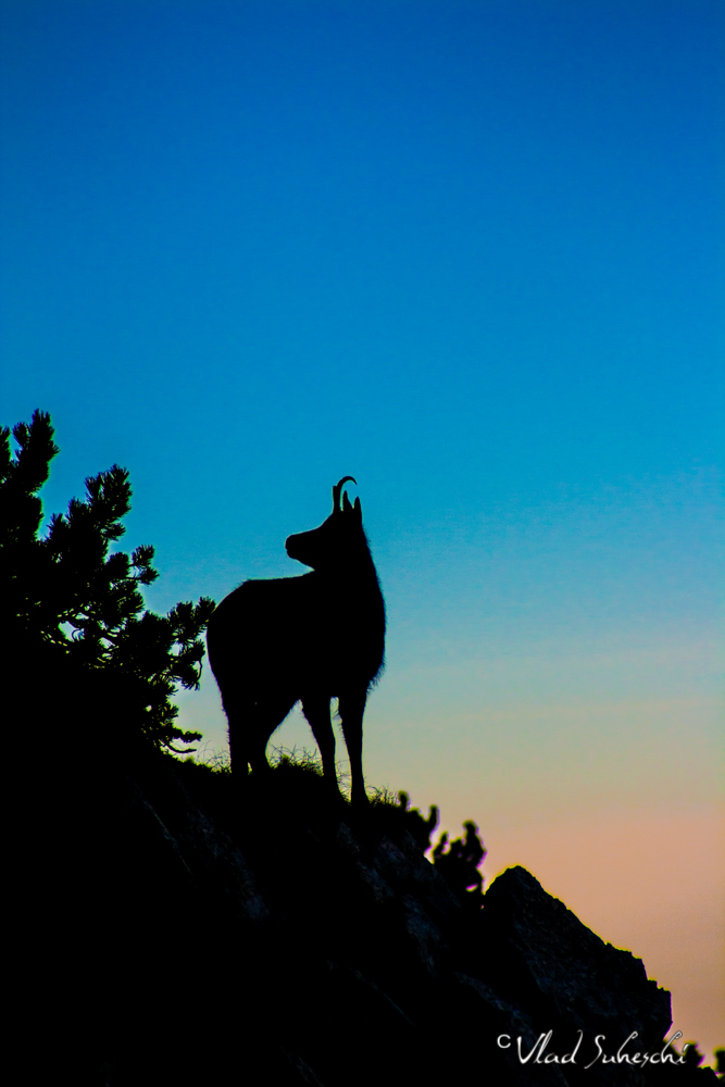 Sunset Chamois. In The Carpathian Mountains, Romania.