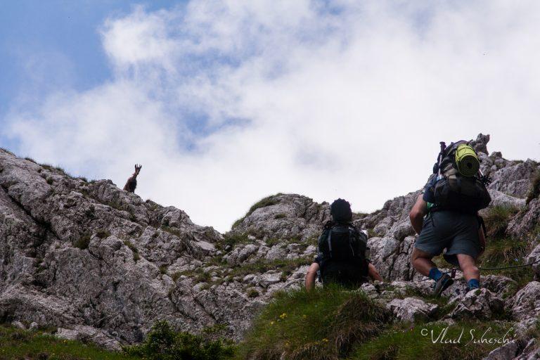 Wellcome, Chamois. In The Carpathian Mountains, Romania.