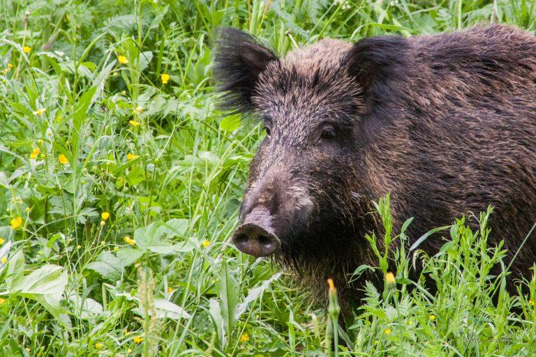 Wild Boar Portrait. In Sinaia Romania